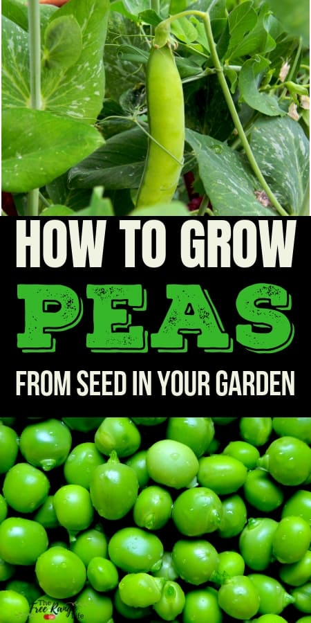 Vegetable Gardening Tips: Learn how to grow your own peas at home in  your backyard garden