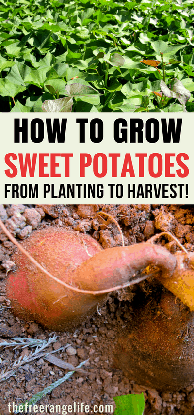 Learn how to grow sweet potatoes in your back yard garden! Sweet potatoes are simple to grow and can be growing containers or in raised beds. Learn to grow them from planting to harvest!