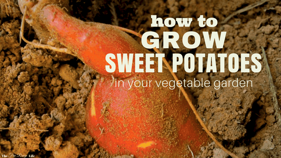 Organic Gardening | How to Grow, Harvest and Store Sweet Potatoes