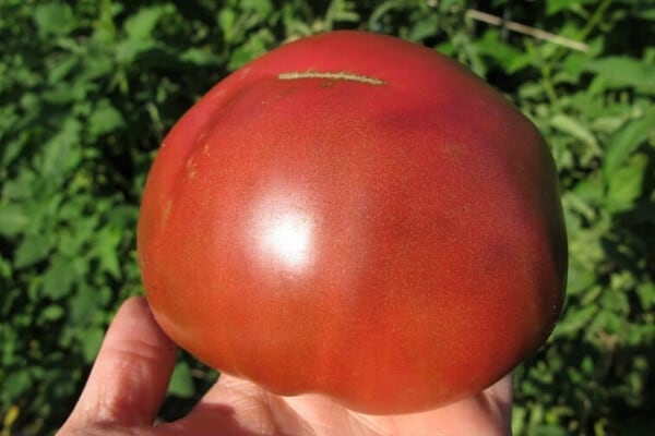 large red heirloom tomato in the garden