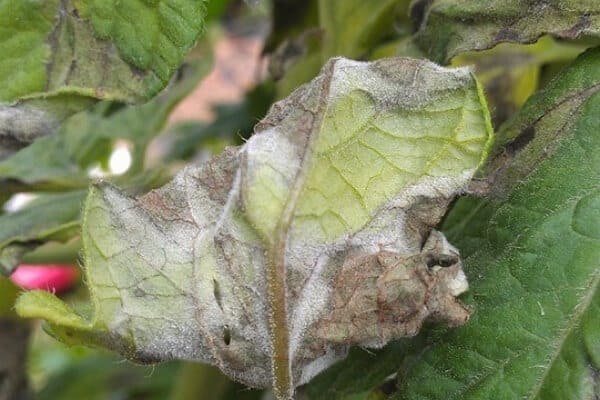 browninsh gray signs of late blight on the underside of a tomato plant leaf