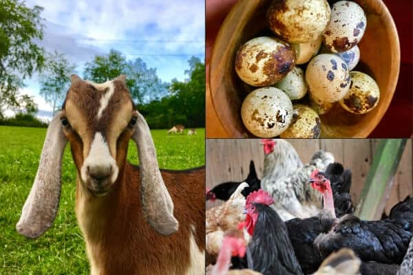 baby goat, bowl of quail eggs and a flock of chickens collage picture