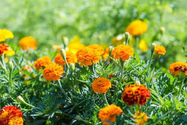 patch of orange marigolds