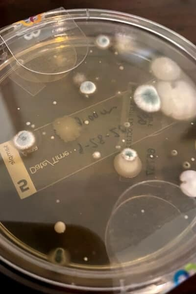 pertri dish mold plate with white and blue spots of mold growing
