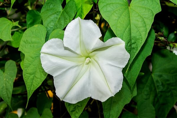 close up of white moonflower
