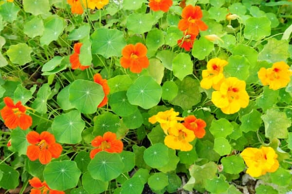 orange and yellow nasturtium flowers on green vines