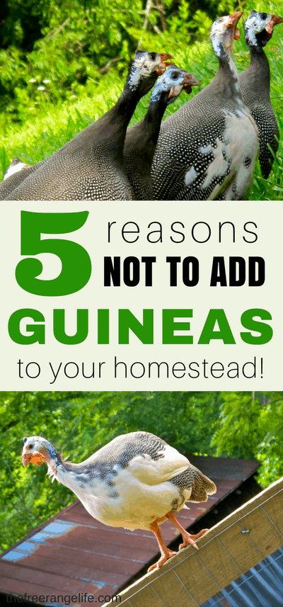 5 Reasons Not to Own Guinea Fowl! They are great for pest control, but guineas have some cons too. Learn from this homesteaders experience with guineas.