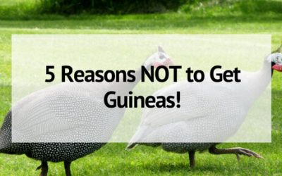 5 Reasons NOT to Own Guinea Fowl