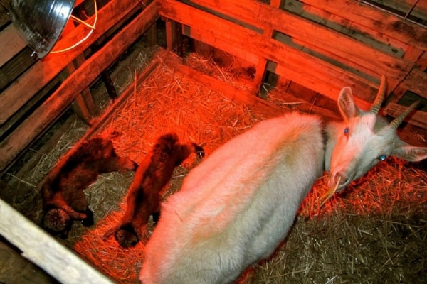 goat and babies in pallet stall