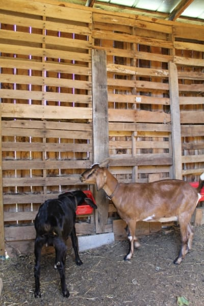 goats in pallet barn