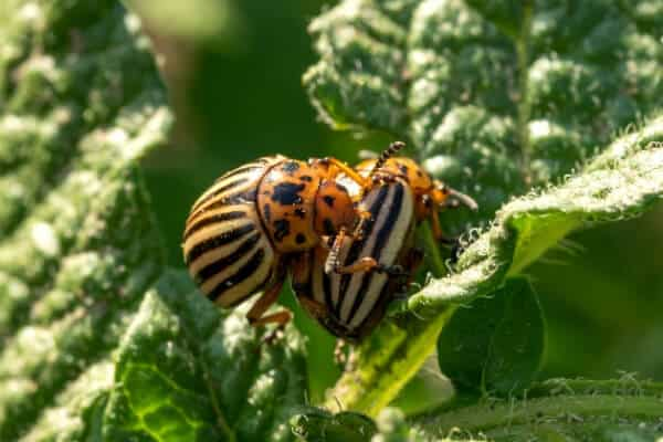 2 potato beetles on a leaf