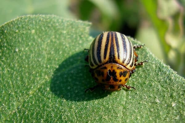 close up of adult potato beetle on a green leaf