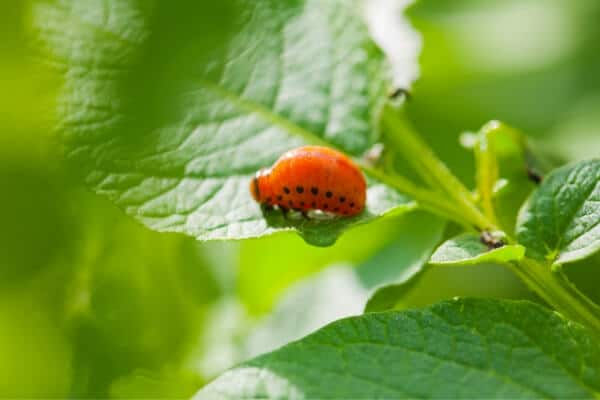 potato beetle larva on a leaf