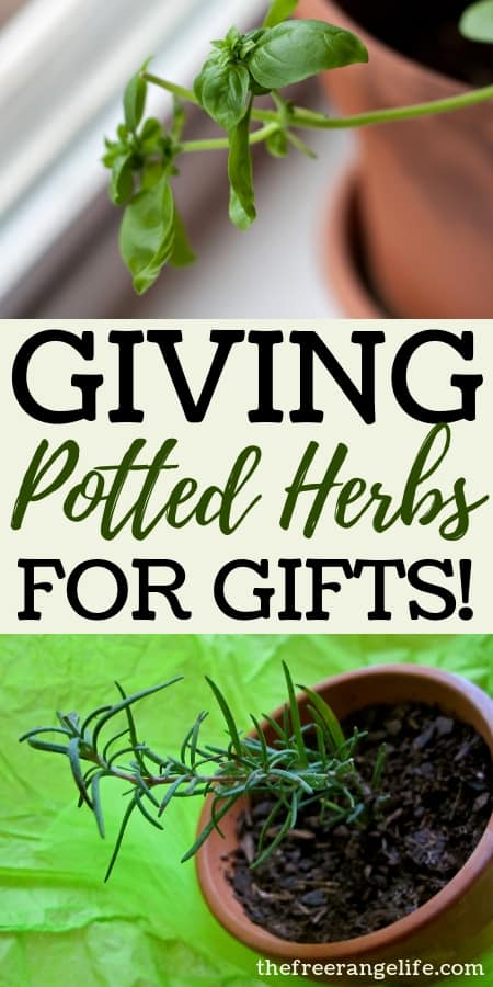 Learn how to create beautiful potted herbs to give as gifts this Christmas!