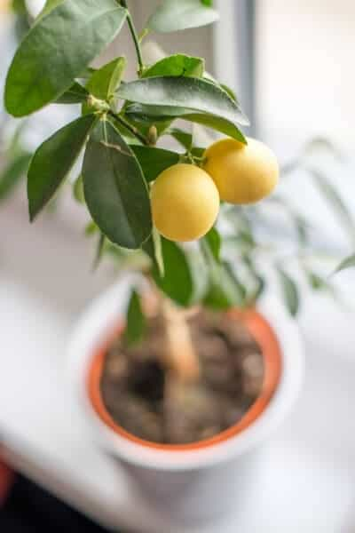 pottle lemon tree on a table with focus on 2 yellow lemons