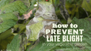 Late blight can be devastating to the home gardener. Learn how to prevent late blight organically and save your crops before it hits!