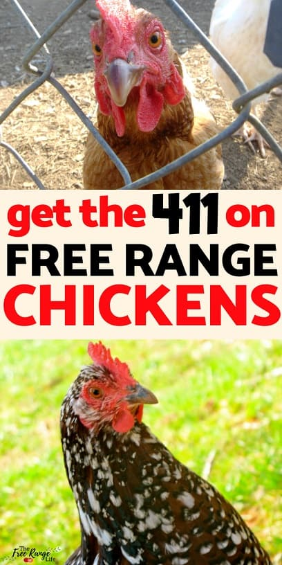 Backyard Chickens- is free ranging your chickens the best option for you? See all the pros and cons of free range chickens