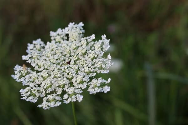 white queen anne's lace flower