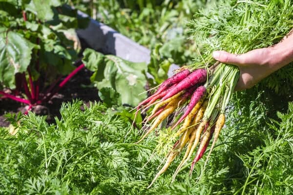 fresh dug rainbow carrots