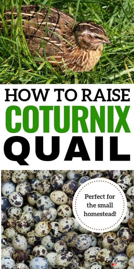 how to raise coturnix quail