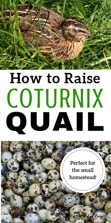 Raising quail is a great option for a small homestead. Learn how to get started with quail!