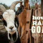 How to Raise Goats on a Small Lot