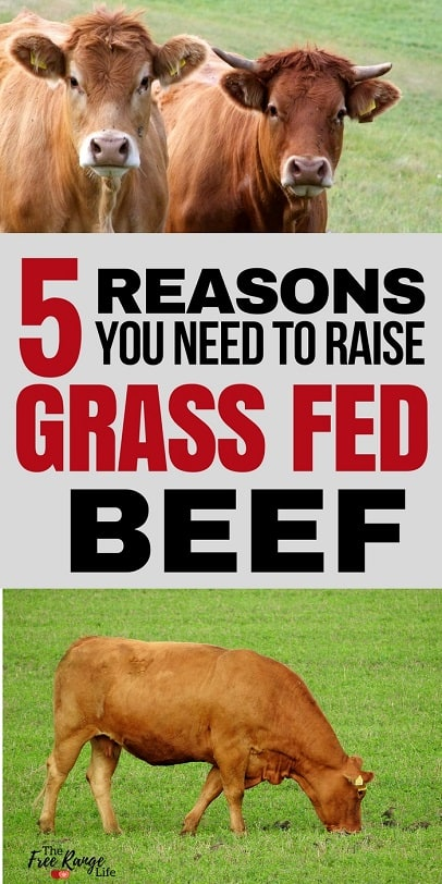 Raising Livestock: 5 Reasons You Should Raise Grass Fed Beef on your homestead