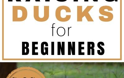 Raising Ducks for Beginners