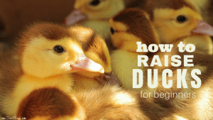 If you love raising chickens, you'll love raising ducks! Learn everything you need to get started in this Beginner's Guide to Raising Ducks!