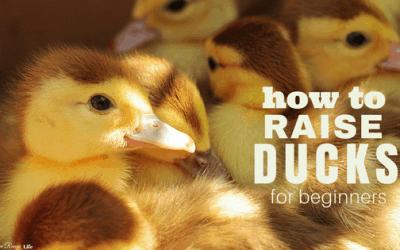 A Quick Start Guide to Raising Ducks
