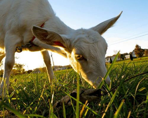 goat grazing in grass