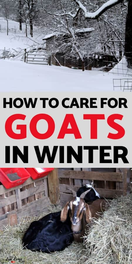 Raising goats in winter takes extra work. Learn what you need to do to care for your goats during the cold and snow.