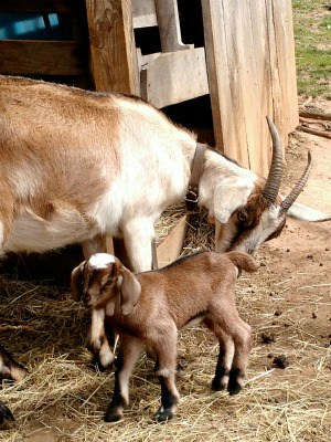 Think you can't raise goats on a small lot? Think again, learn how to make room for goats on a very small homestead and get started today!