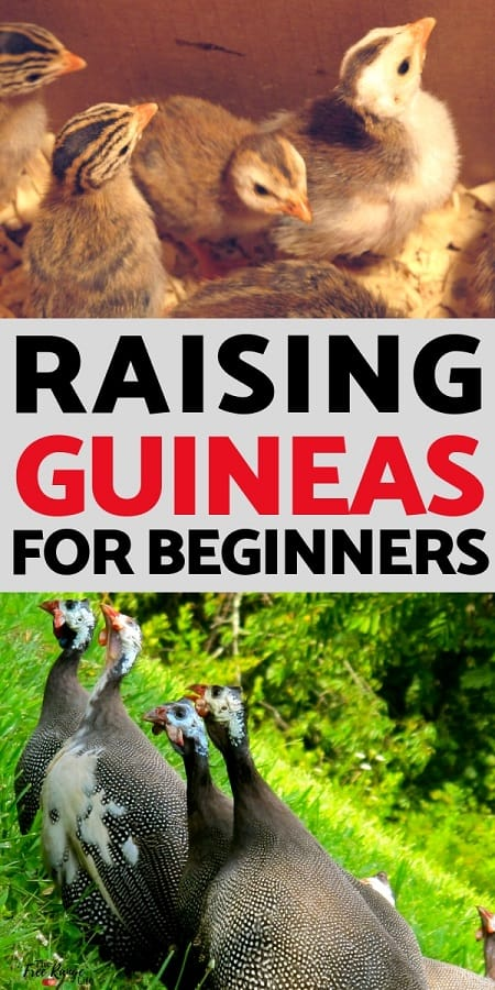 Guinea Fowl: Raising guinea fowl isn't too difficult, learn the basics for raising guineas on your homestead and tips on a successful guinea flock!