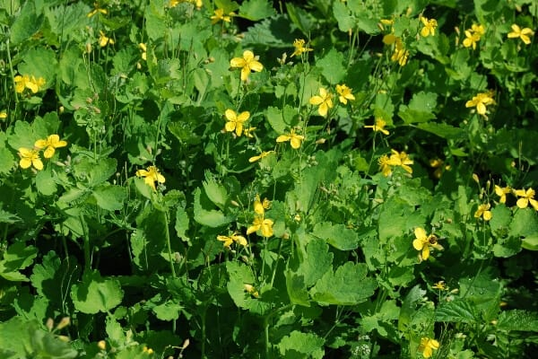 remove warts with Celandine