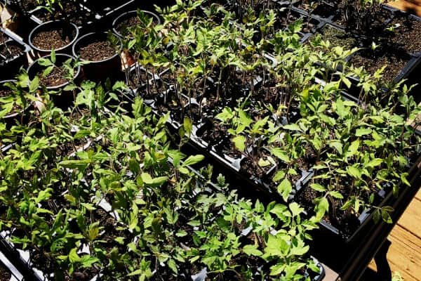 seedlings on a table hardening off