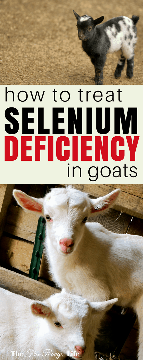 Raising Goats: Selenium deficiency in goats can cause reproductive issues and weak kids. Learn how to identify and treat this deficiency in your herd!