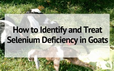 Identifying and Treating Selenium Deficiency in Goats