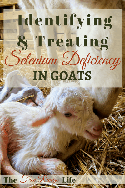 Selenium deficiency in goats can cause reproductive issues and weak kids. Learn how to identify and treat this deficiency in your herd!