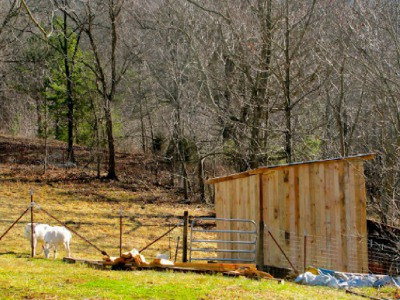 How much space do goats really need? Learn all about the space requirements for goats to give them the best shelter and pasture for healthy and happy lives!