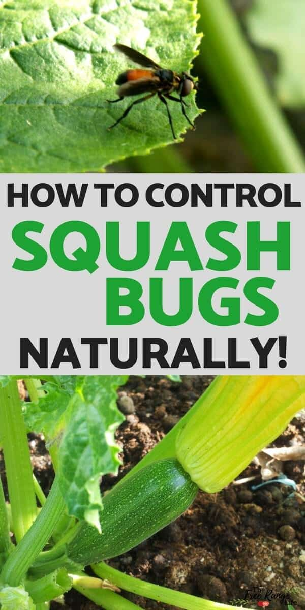 how to control squash bugs naturally