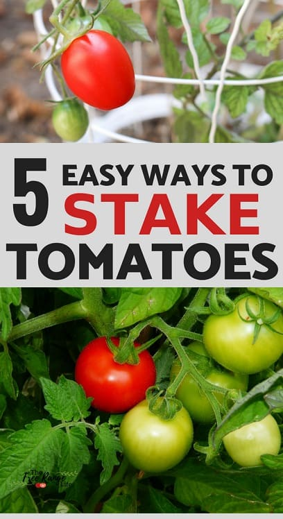 5 ways to stake your tomatoes with red and green tomatoes on the vine