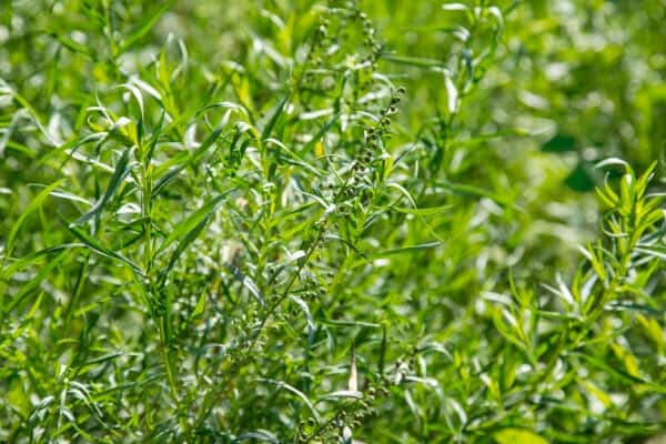 french tarragon plant