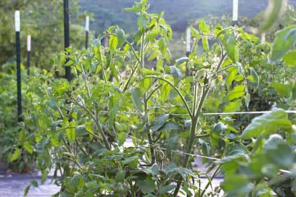 tomatoes growing in a backyard garden