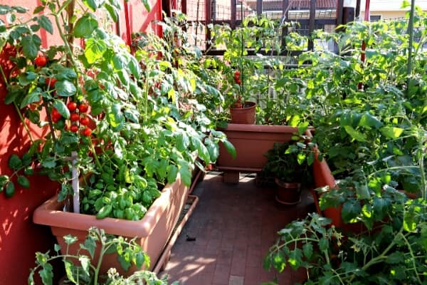 tomato and basil plants in large containers on a balcony