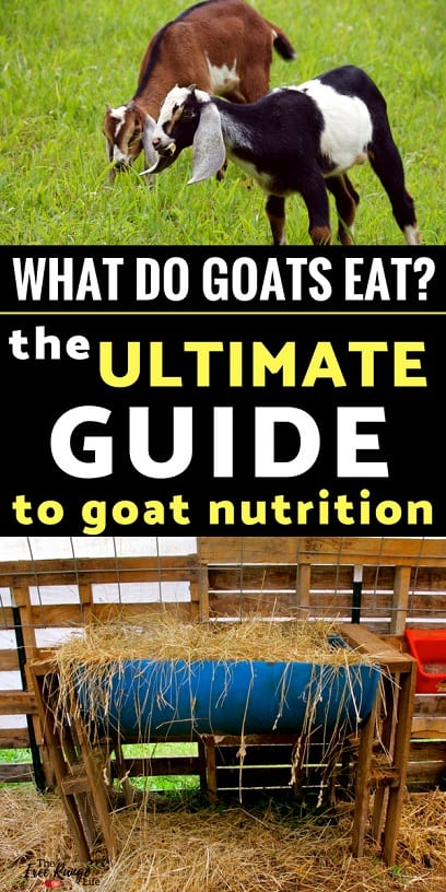 Your complete guide to feeding your goats: What do goats eat? How much should you feed goats? And other commonly asked questions about goat nutrition.