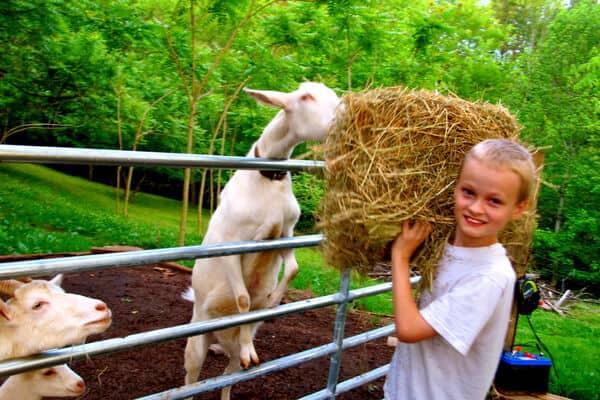 boy feeding goats hay