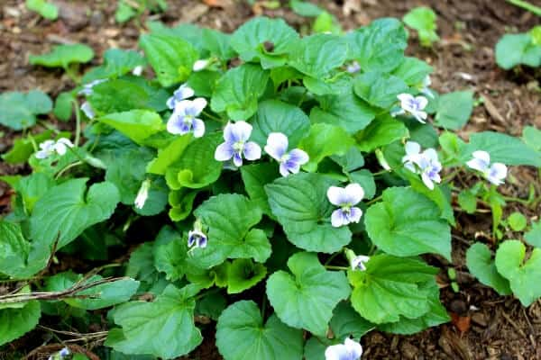 patch of edible violets