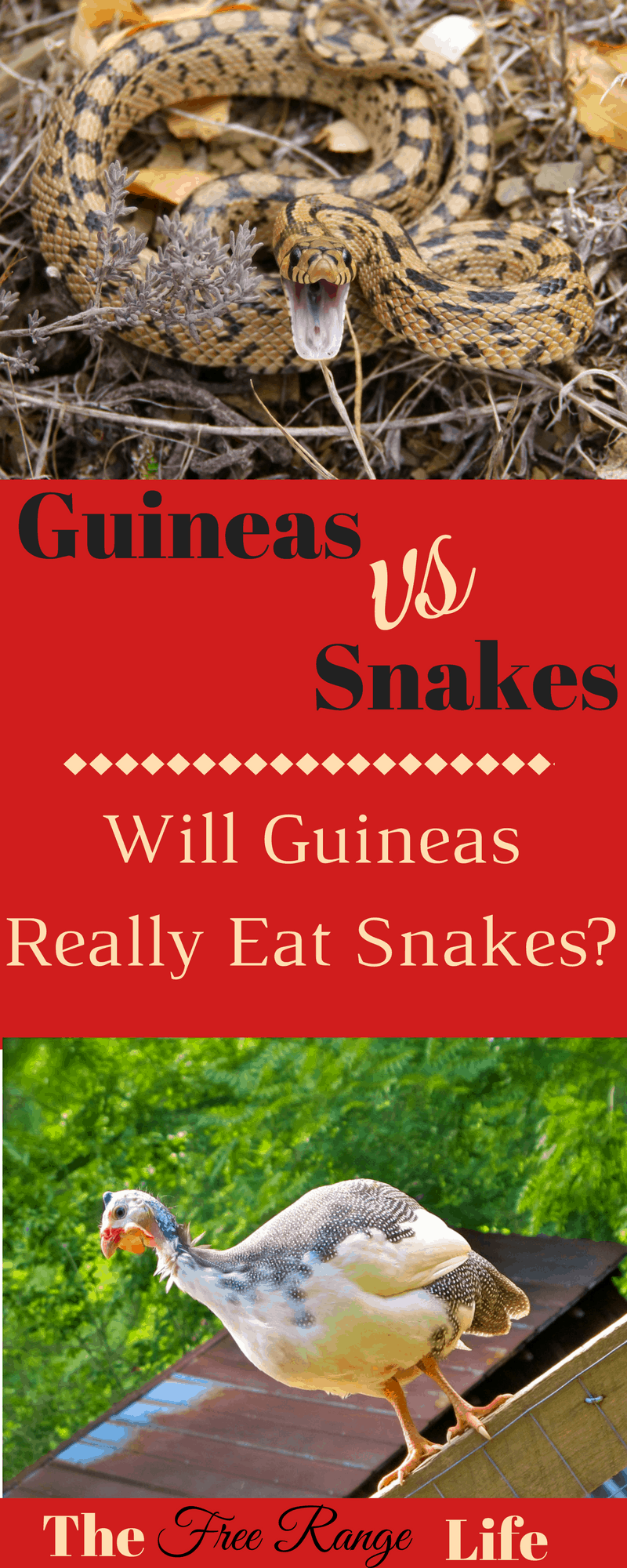 Do guineas eat snake? It's the most common question I get about guineas. Find out once and for all if guineas will really get rid of your snake problem!