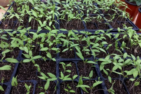 young seedlings on a table hardening off